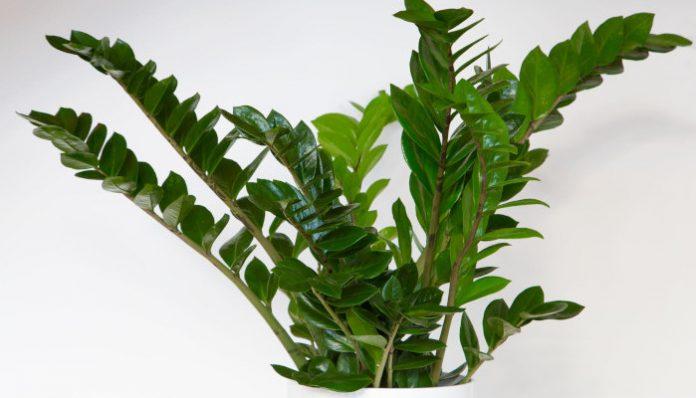 Zamiokulkas zamiolistny - idealna roślina dla zapominalskich