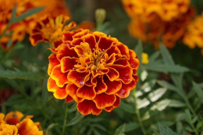 Rośliny, które odstraszają owady  - aksamitka