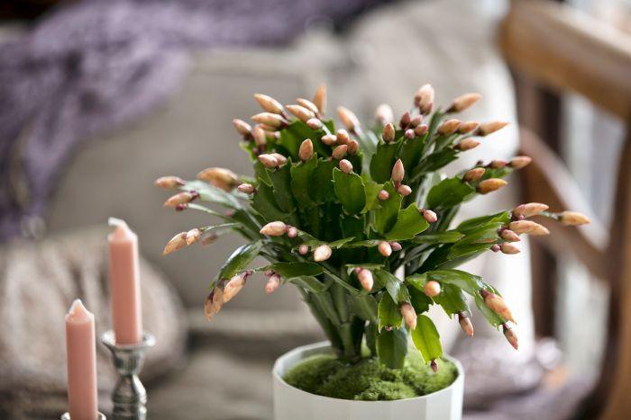 Świąteczne rośliny, których nie może zabraknąć w Twoim domu