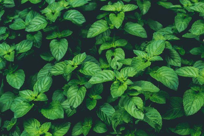 Rośliny, które odstraszają owady - mięta