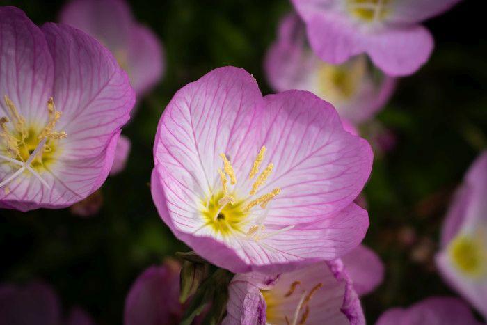 Rośliny, które odstraszają owady - pelargonia