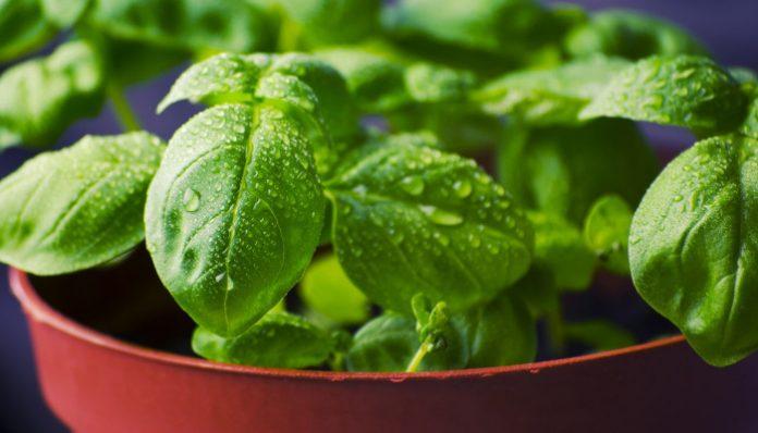 Rośliny, które odstraszają owady