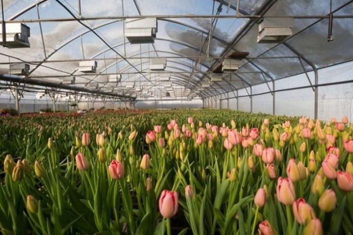 Szklarnia do produkcji tulipanów