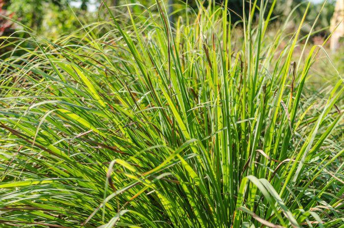 Rośliny, które odstraszają owady - trawa cytrynowa