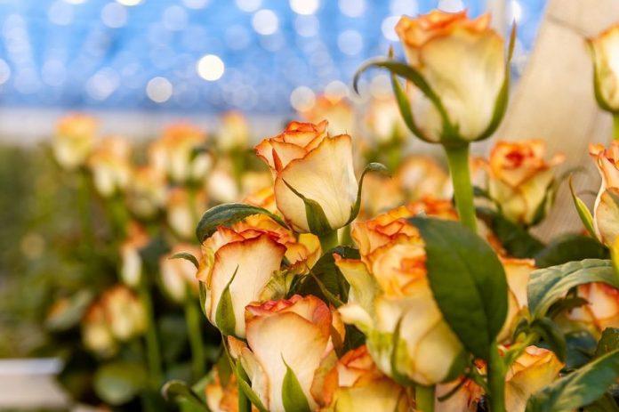 rosyjskie róże