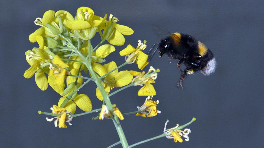 Rosliny Brassica Rapa Rozwijaja Atrakcyjne Kwiaty Portal Florystyczny