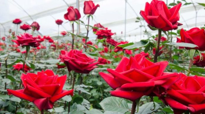 Ekwadorskie róże