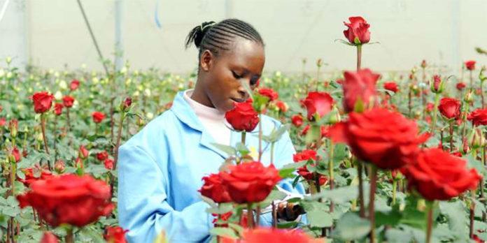 Produkcja kwiatów w Kenii
