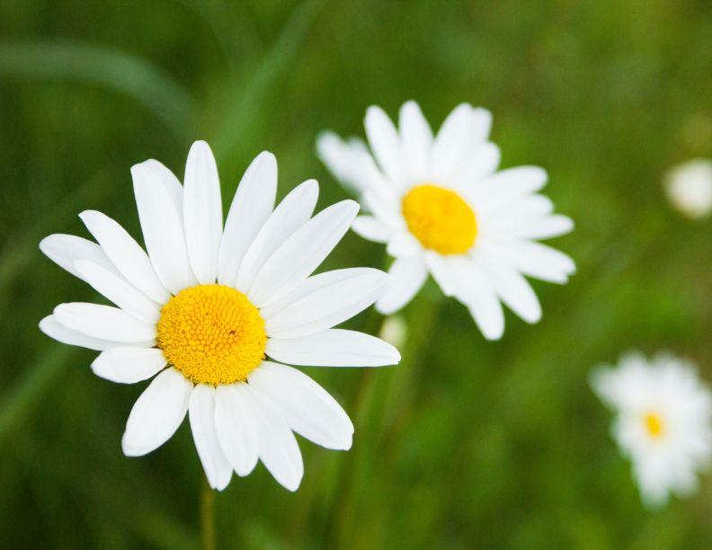 Stokrotka z naturalną ochroną przeciwko mszycom - Portal florystyczny