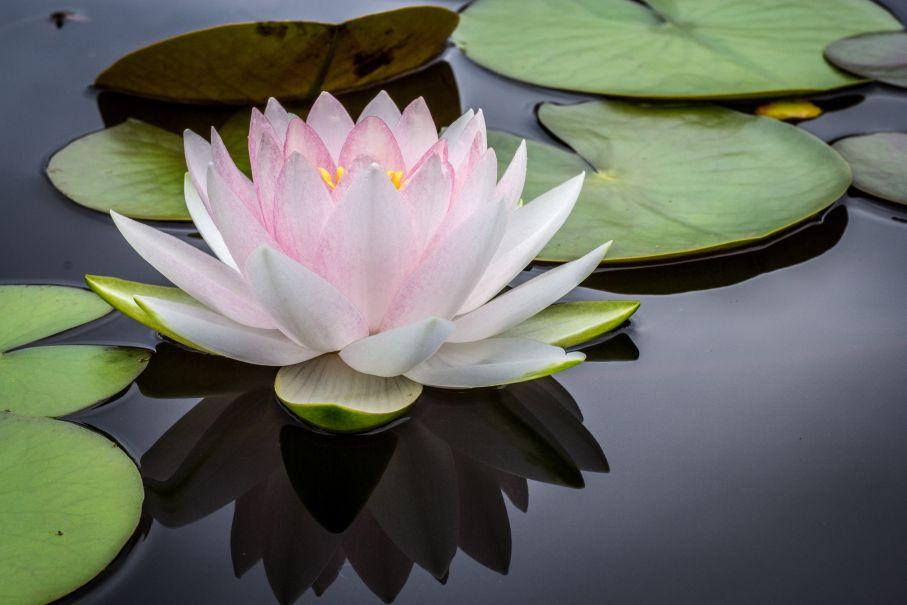 Encyklopedia Kwiatow I Roslin Kwiat Lotosu Portal Florystyczny