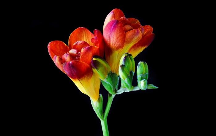 kwiaty frezji