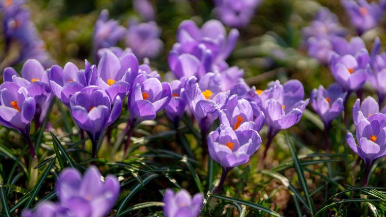 Znaczenie kwiatów: Co oznaczają krokusy? - Portal florystyczny