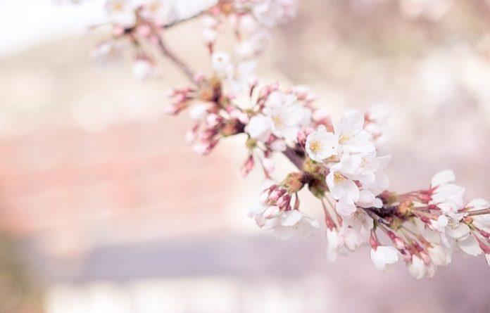 Co oznacza sakura?