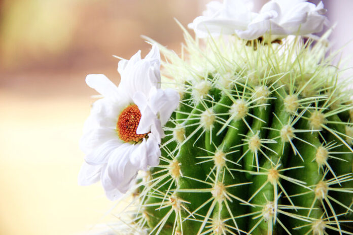 Co oznacza kaktus?