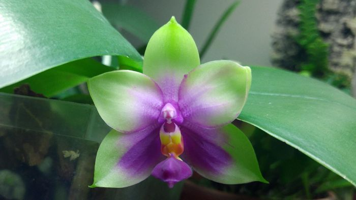 Storczyk Phalaenopsis bellina