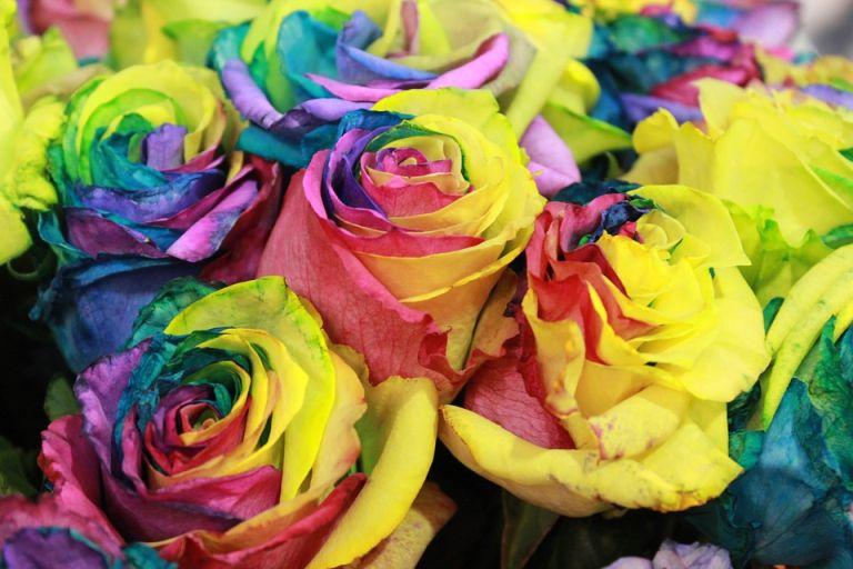 Tęczowa róża