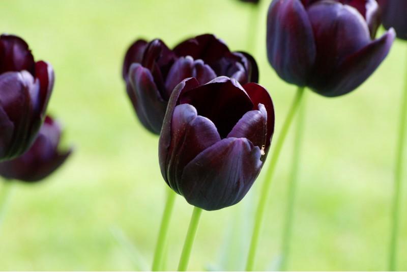 Tulipan Królowa nocy