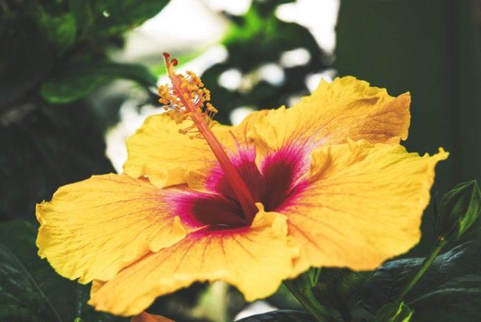 Co oznacza hibiskus?