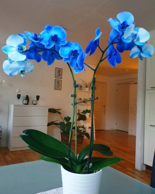 storczyk niebieski