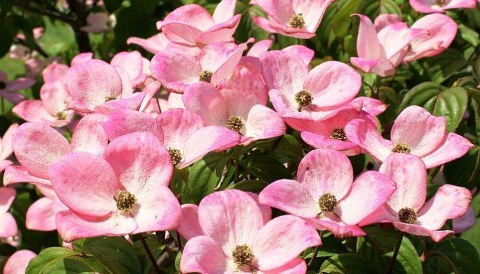 Co oznacza kwiat dereni?