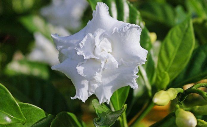 Co oznacza gardenia?