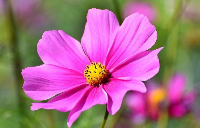 Jakie jest znaczenie kwiatów kosmosu?