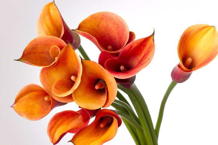 Znaczenie Kwiatow Co Oznacza Lilia Etiopska Portal Florystyczny