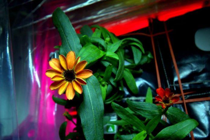 Jakobinka - pierwszy kwiat w kosmosie