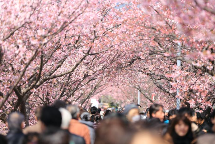Sakura w Japonii