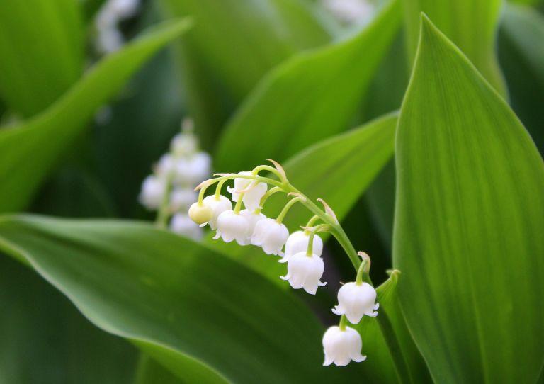 Znaczenie Kwiatow Co Oznacza Konwalia Portal Florystyczny