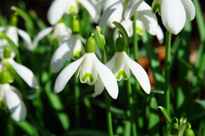 Kwiaty wiosenne - przebiśnieg