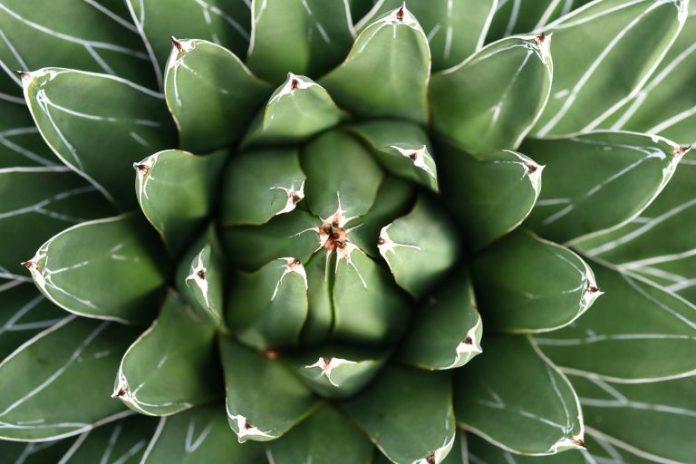 Агава - в чем смысл этого растения?
