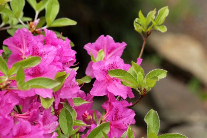 Jakie jest znaczenie rododendronu?